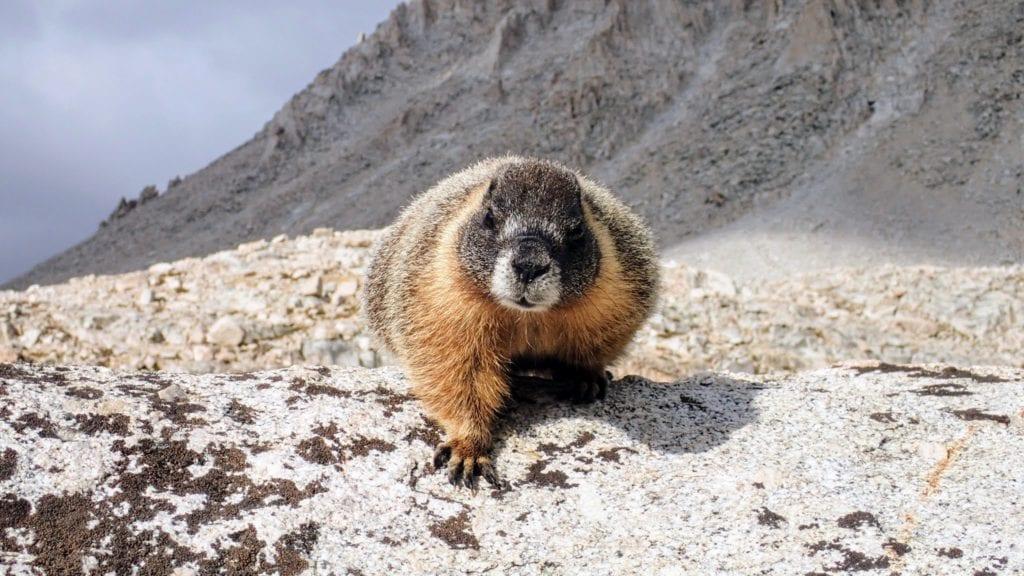 Fat marmot climbs over rock near Mt. Whitney.
