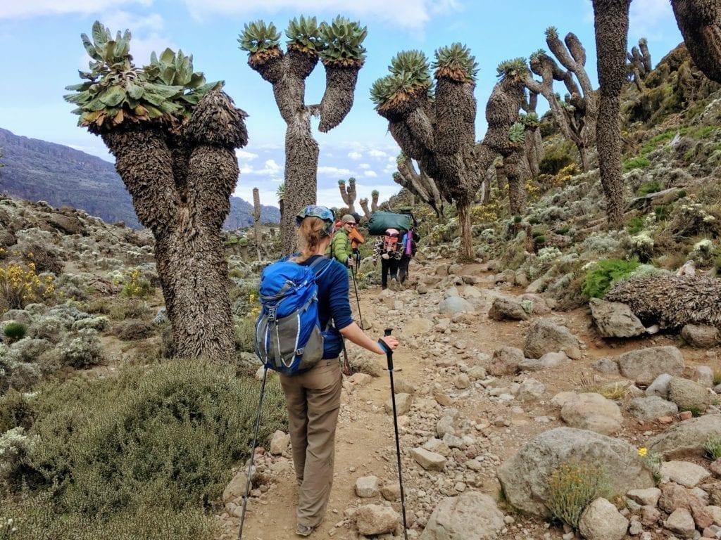 Otherworldly plants on Kilimanjaro hike, Lemosho route