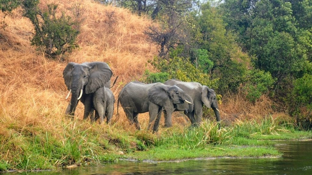 Elephants at shore of Nile river in Murchison Falls National Park