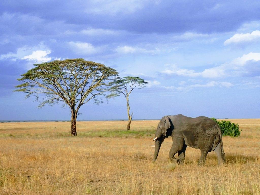 Elephant and tree on vast Serengeti plains
