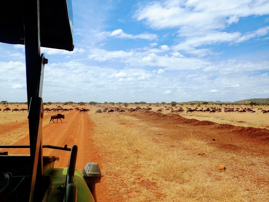 Wildebeests crossing road in front of safari vehicle in Serengeti