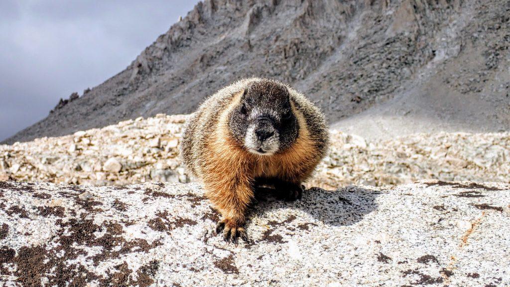 Marmot on rock