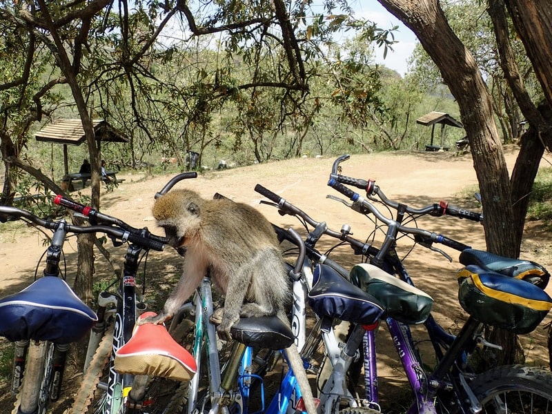Monkey sits on parked bicycles at Hell's Gate picnic area