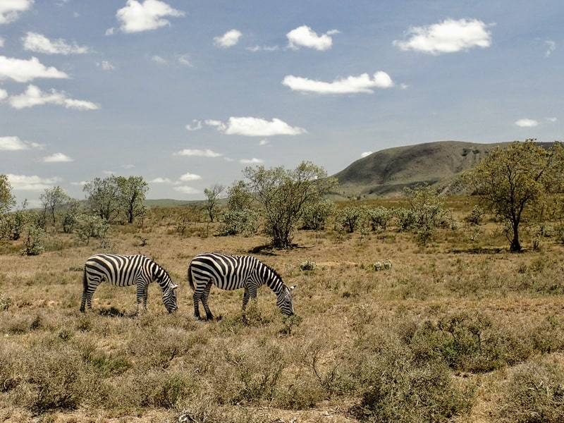 Two zebras graze on Kenya's grassy plains