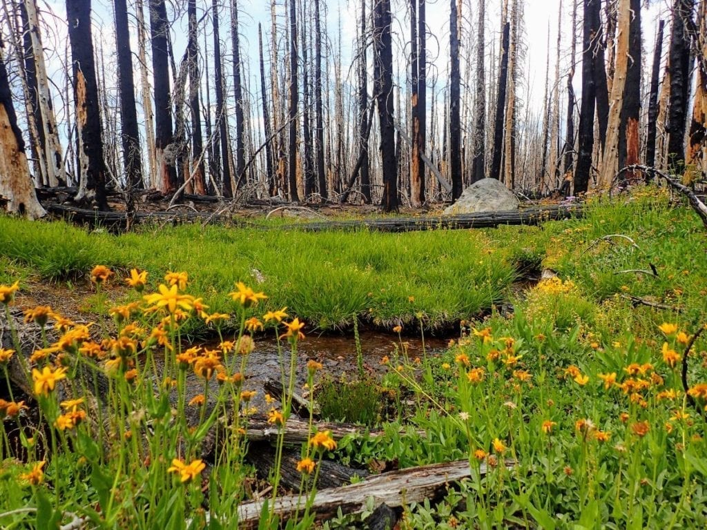 Yellow wildflowers in green meadow contrast with burned tree trunks