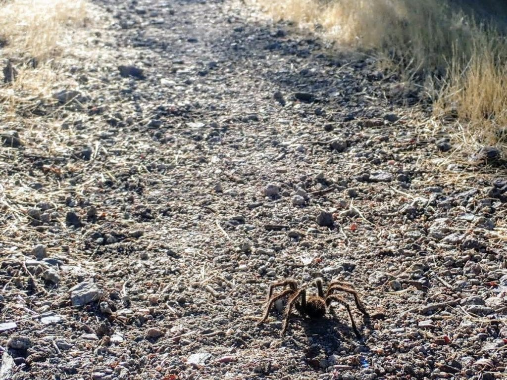 Tarantula spider on hiking trail